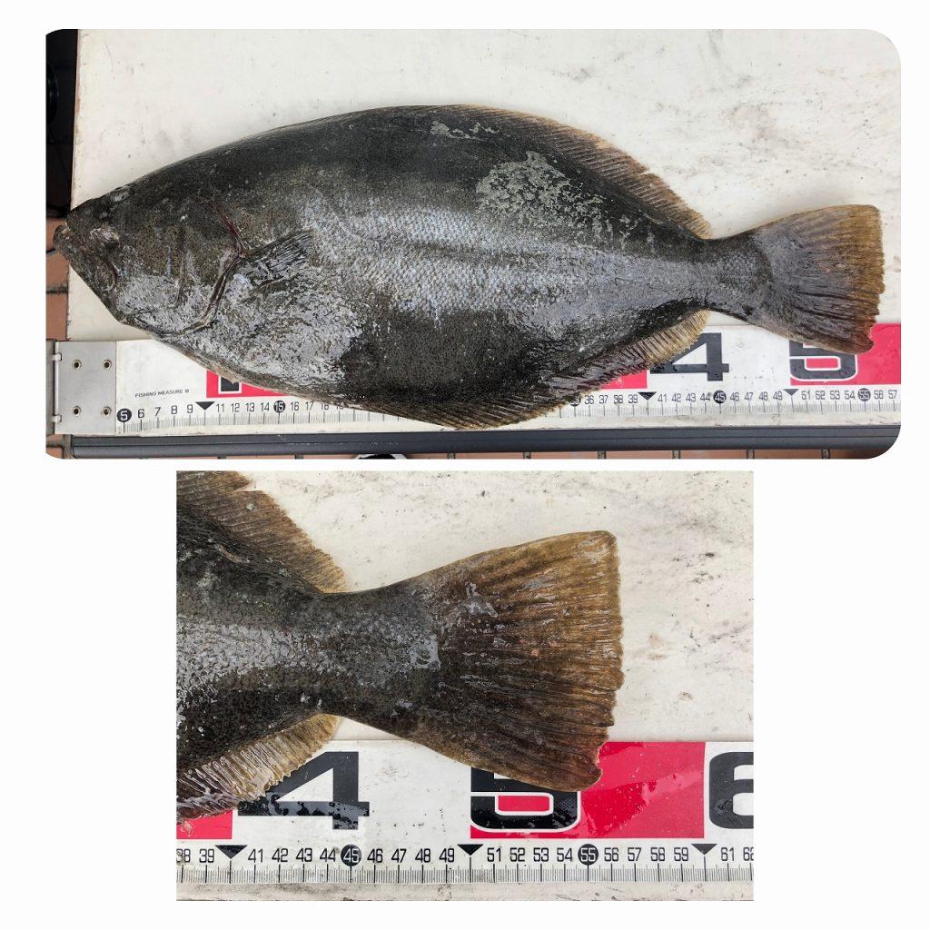 ヒラメダービー 55.5cm