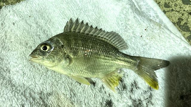 【釣果】キビレとカサゴ