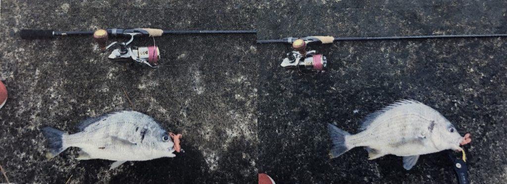 【釣果】キビレ2匹