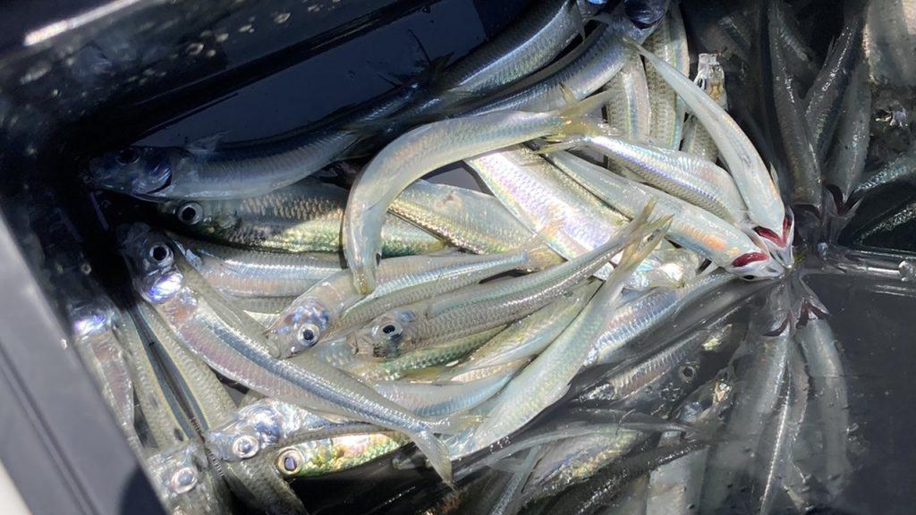 [スタッフ釣果]海釣り公園 サビキ釣り2