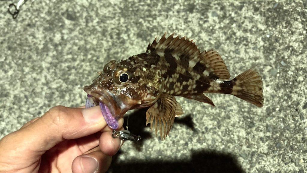 [スタッフ釣果]ライトゲームでカサゴ釣り